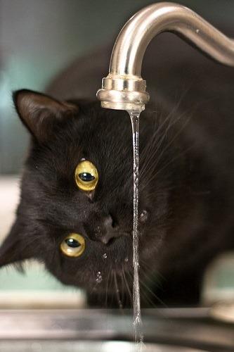 (写真1)蛇口から流れる水道水を飲む猫(イメージ)
